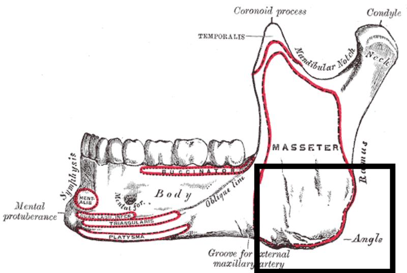 skeleton of jaw bones